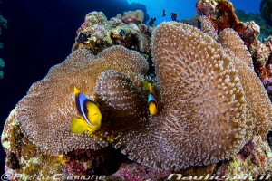 Clowns and Anemone by Pietro Cremone