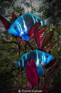 """""""Always In Pairs"""" When I'm diving, I've always noticed th... by Conor Culver"""