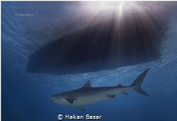Tiger Shark by Hakan Basar