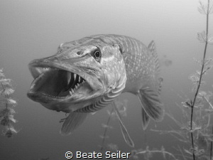 B/W Northern Pike by Beate Seiler