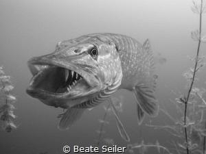 B/W Northern Pike by Beate Seiler