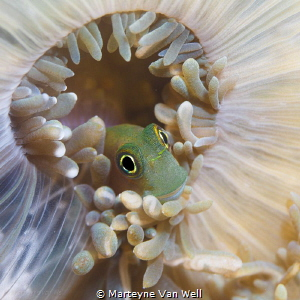A cute little goby playing hide and seek. Canon EF100mm f... by Marteyne Van Well