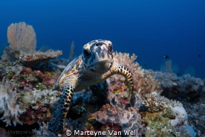 """Here is looking at you""; a juvenile hawksbill turtle tak... by Marteyne Van Well"