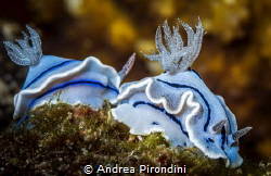 Nudibranches line by Andrea Pirondini