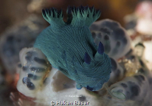 Lunch time ! Nembrotha milleri by Hakan Basar
