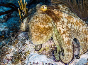 Bluffing - this octo was trying to scare us away. by Robin Bateman