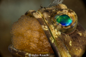 Ready and willing father to be! Banded Jawfish at  Blue H... by John Roach