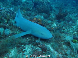Large Nurse shark at the end of the dive, had to take a c... by Jerry Stinnett