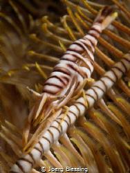 Crinoid shrimp on it´s featherstar by Joerg Blessing