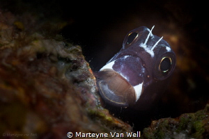 Say ahhh.... A blenny yawning at the camera. by Marteyne Van Well