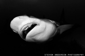 The Reef Sharks of the Bahamas get big and keep the reefs... by Steven Anderson