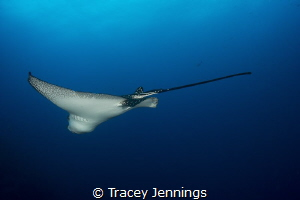 Eagle Ray by Tracey Jennings