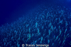 A sea of fish ... by Tracey Jennings