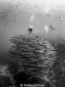 On top of the World! Chevron Barracuda - Sphyraena qenie.... by Stefan Follows