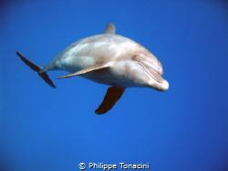 visite d'une famille de dauphin en fin de plongéé, magique! by Philippe Tonacini