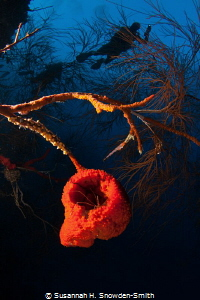"""""""The Beehive""""  A sponge hangs out from a steep wall as ... by Susannah H. Snowden-Smith"""
