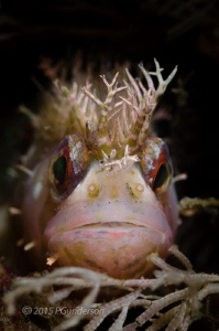 Good Hair Day!  Chirolophis nugator, Mosshead Warbonnet  by Pat Gunderson