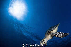 """""""Glide"""" A Hawksbill descends after catching a couple bre... by Chase Darnell"""