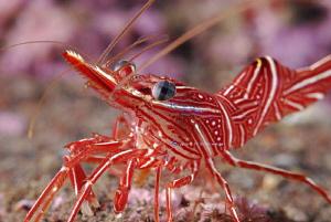 Dancing Shrimp aka Camel shrimp by Suzan Meldonian