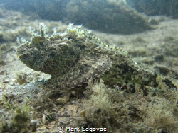 Scorpion Fish