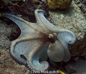 Reef Octopus on a day-time hunt..... by Chris Miskavitch