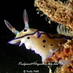 Nudibrach of sabah, borneo by Rudy Matt