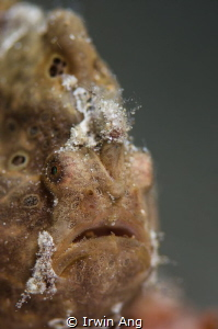 A L I E N Commerson's frogfish (Antennarius commerson) ... by Irwin Ang