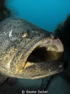 Goliath grouper at the Mizpah wreck by Beate Seiler