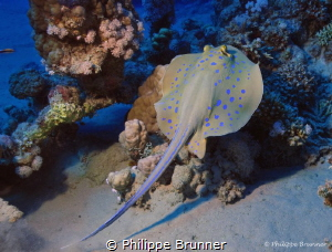 Blue spotted stingray by Philippe Brunner