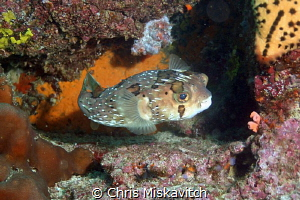 Puffer...Galapagos by Chris Miskavitch