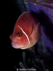 Heart of Darkness. Pink Anemonefish - Amphiprion peridera... by Stefan Follows