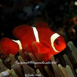 Clownfish by Rudy Matt