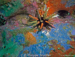 Colors pallet for this pencil urchin. Galapagos. by Philippe Brunner
