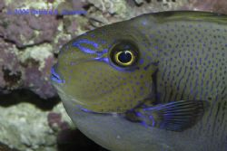 I know this fish as a Philippine Tang. by Patrick Reardon