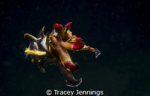 Flamboyant cuttlefish on a night dive in the Philippines by Tracey Jennings
