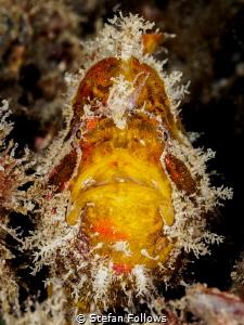 Curious George. Frogfish - Antennarius sp. Chaloklum, Tha... by Stefan Follows