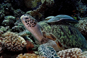 """Resting with Friends"" - Green Sea Turtle with Remoras