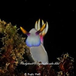 Thelenota ananas Was shot at sapi reef borneo by Rudy Matt