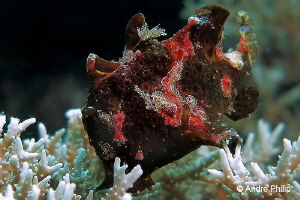 """Frogfish in brown"" - the only time that I saw this colou... by Andre Philip"