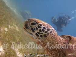 Turtle in Balicasag,Philippines by Niko Torvinen