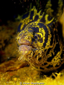 Chain Moray with a chin full of fireworm. SeaLife DC1400 by Arun Madisetti