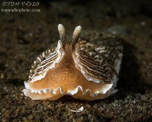 Armina californica Puget Sound, WA, U.S.A. by Tom Radio