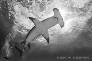 Hammerhead Shark curving overhead in Bimini by Ken Kiefer