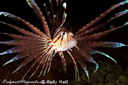 Lionfish. D300 with 60mm macro lens. Nexus housing with ... by Rudy Matt