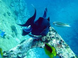 Triggerfish on a wreck by Gordana Zdjelar