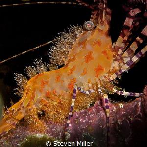 Saron shrimp detail, tangerine lace. by Steven Miller