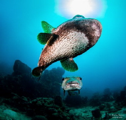 The Chase: A male Porcupinefish chases a female towards t... by Henley Spiers