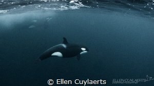 Very challenging to get in the water with orcas in the wi... by Ellen Cuylaerts