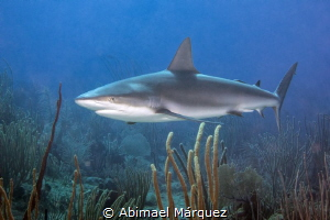 My first reef shark 2015 at Guanica, PR. by Abimael Márquez
