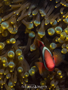 Clown Fish in Siquijor, The Philippines.  Taken on Oly E-... by Jan Morton